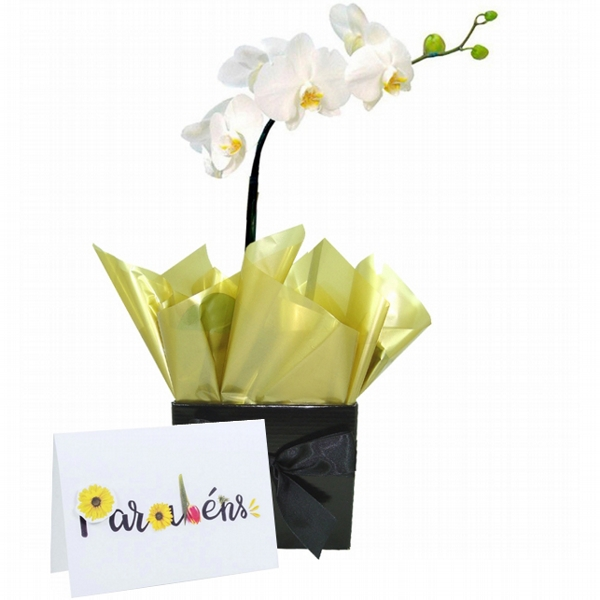 Orquídea Parabéns Especial