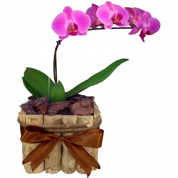 Orquídea Phalaenopsis cor Lilás