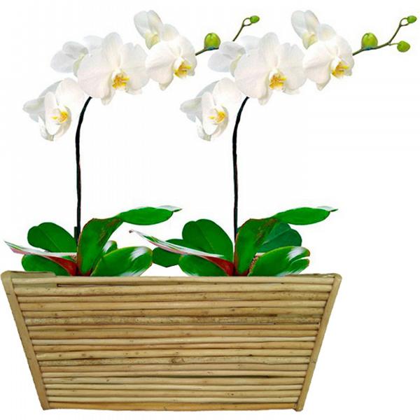 Dupla de Orquídeas Luxo